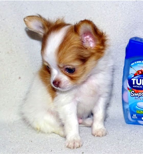 Marv Chihuahua Puppy