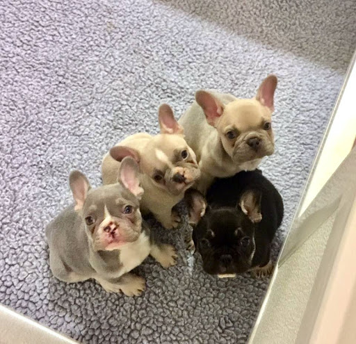 Audra French Bulldog Puppy