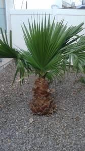 palms (E.N.L.V.)