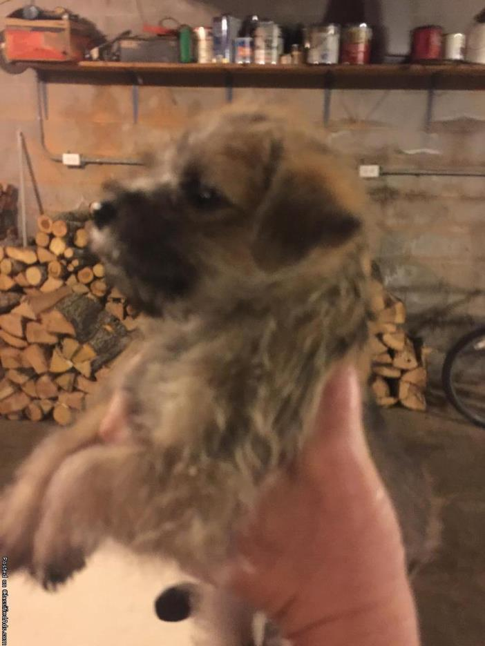 Cairn Terrior/Fox Terrier Puppies