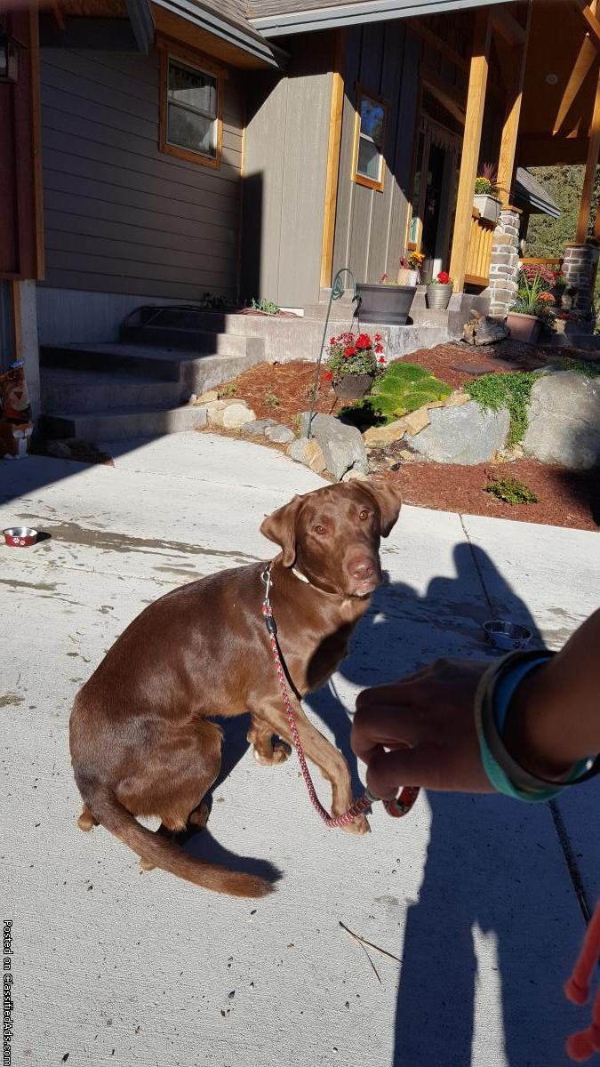 Young Male Chocolate Lab found in Montana City area up in Jack Mountain Estates
