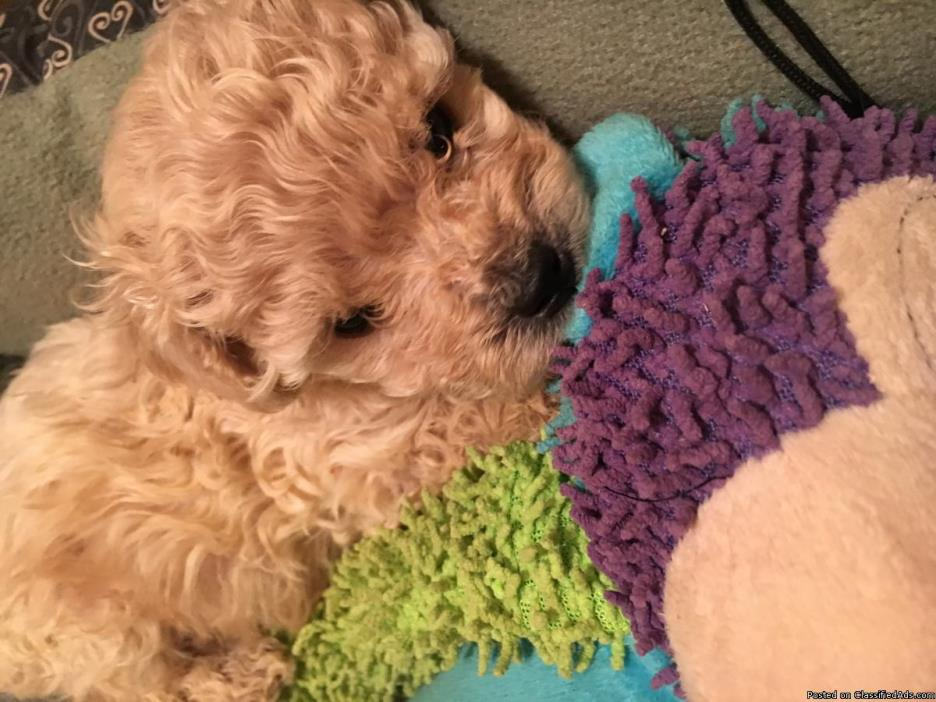 Beautiful toy poodle(small)