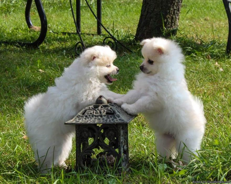 AKC Male White/Cream POMERANIAN Puppies