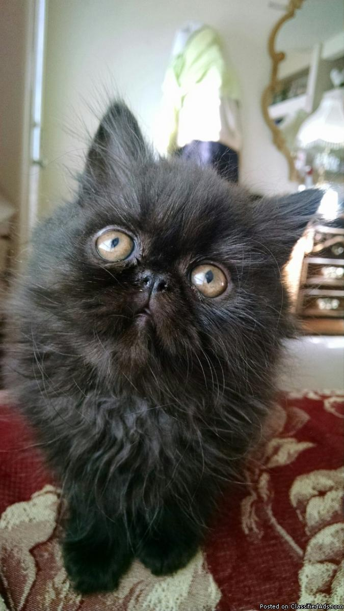 CFA black male Persian kittens