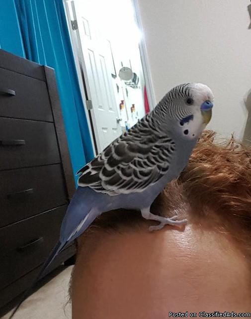 Lost Blue Parakeet bird -S.Lakeland