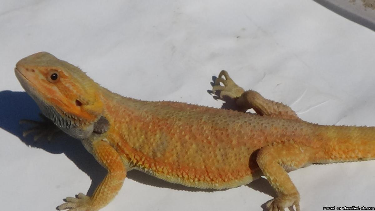 Tangerine Red Trans Hypo Juvenile Bearded Dragon