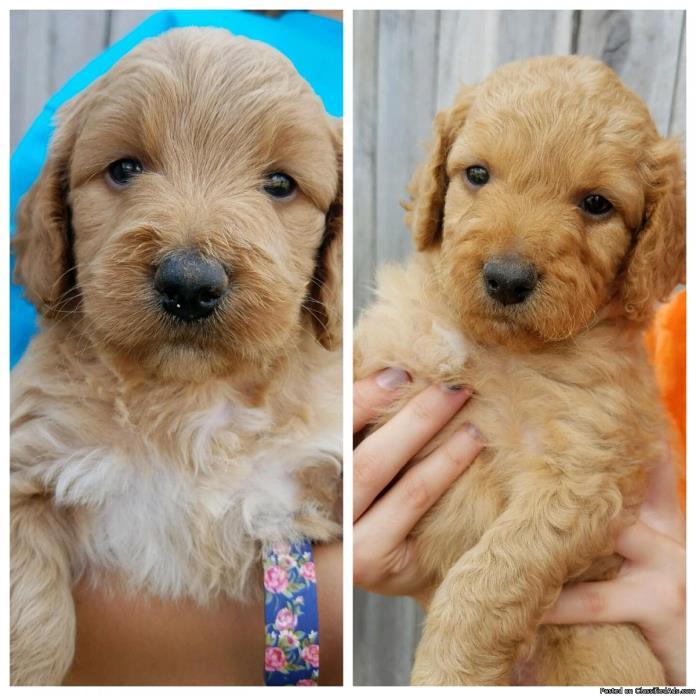 Minature Goldendoodle Puppies