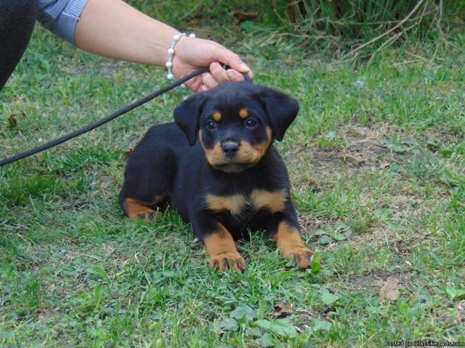 Gorgeous  Rottweiler Girl 12 Wks Old
