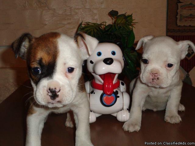Mini Bulldogs