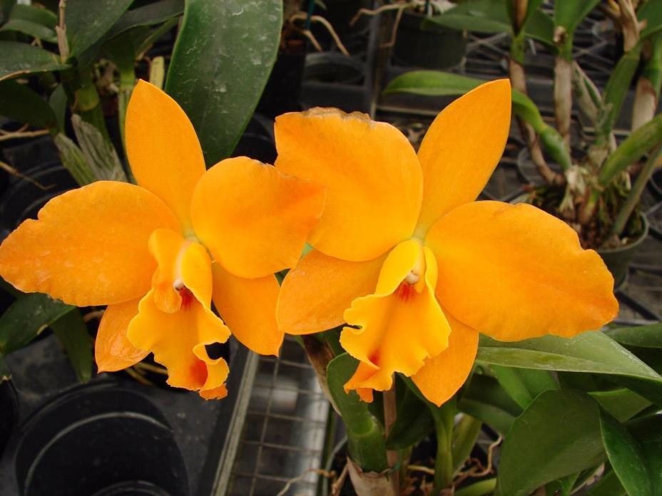GORGEOUS Slc. Hazel Boyd 'Apricot Glow' FLOWERS 4