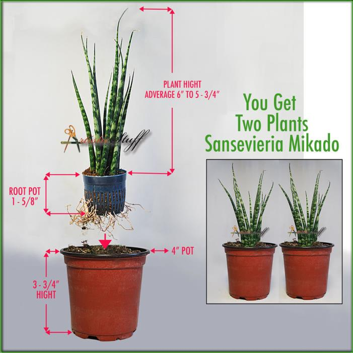 Two Sansevieria Mikado, Fernwood Snake Plants (Imported From Thailand) Easy Grow