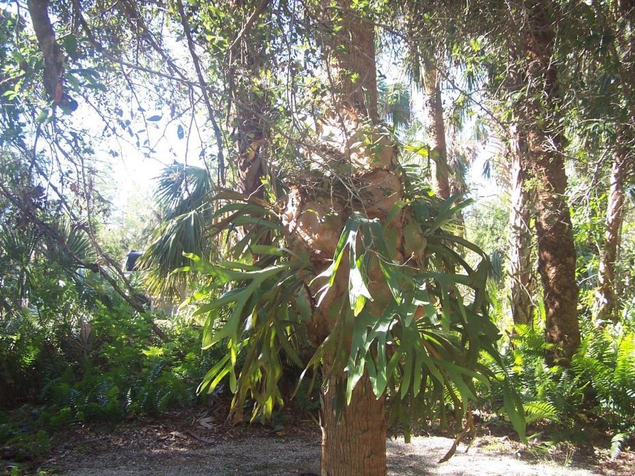Boston Ferns Fern Beautiful 12 Live Healthy Louisiana Grown Plants