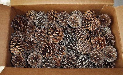 PINE CONES 300 NORWAY (RED PINE TREE) - 1 - 2.5 INCHS TALL (GREAT CRAFTING ITEM)