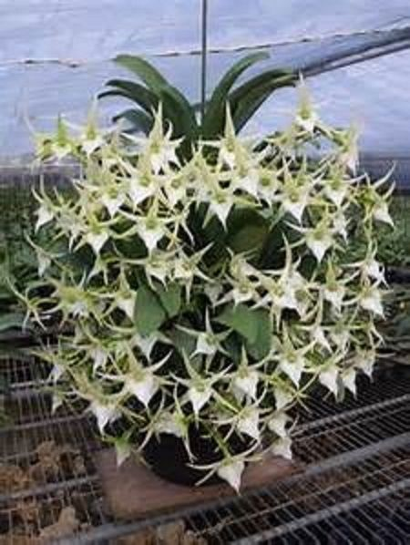 Angreacum Crestwood Tomorrow's Star' FCC/AOS blooming size healthy plants