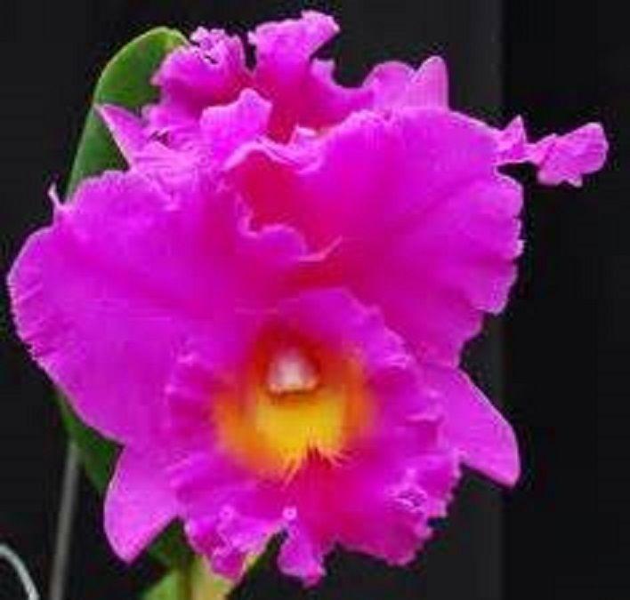 Cattleya : Rlc.Pink Empress 'Ju-Sen' excellent clones blooming size, spotless