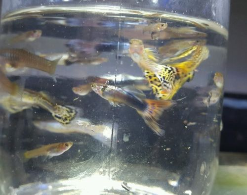 100 Mix Fancy Guppies Male & Young Guppies