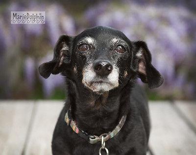Mini senior Dachshund DOG standing  wood deck WISTERIA pet portrait PHOTOGRAPH