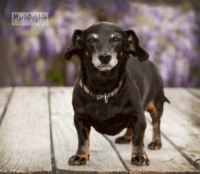 Mini senior Dachshund DOG standing on wood deck WISTERIA pet portrait PHOTOGRAPH