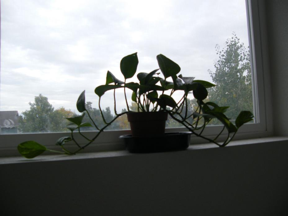 Very healthy pothos tree, very good house plant.