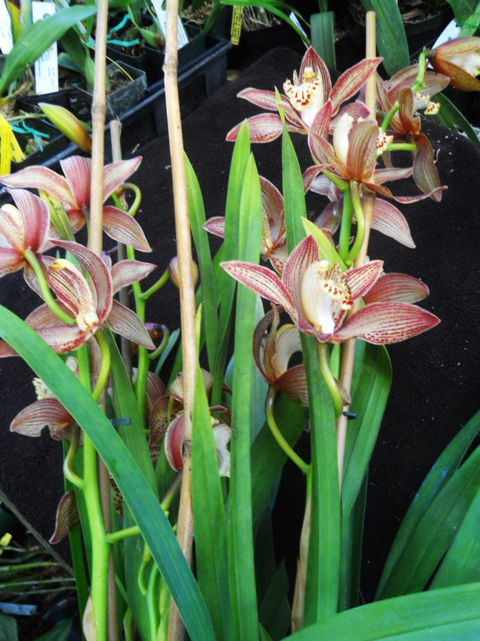 Cymbidium tracyanum, orchid species