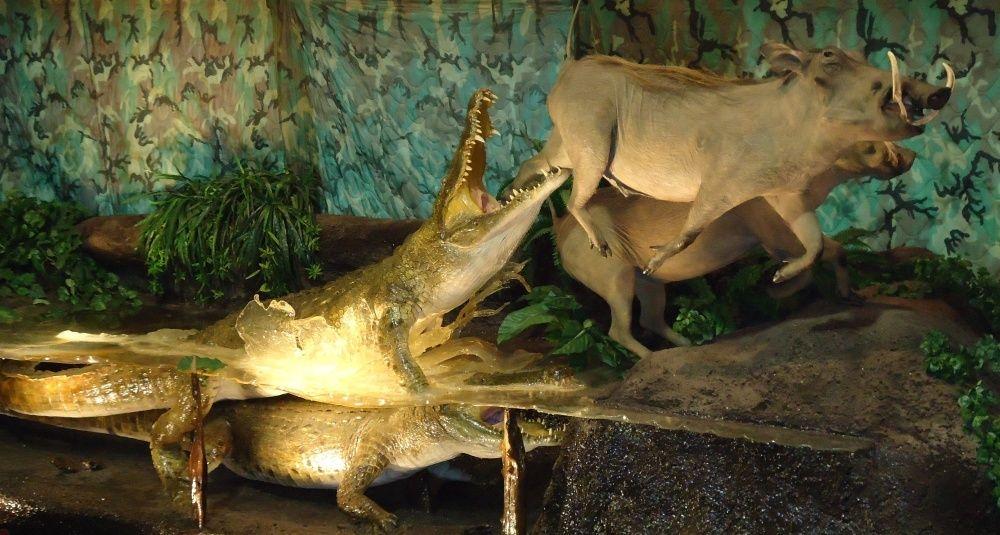 Crocodile Pursues Warthog in the African Wild- Massive Mount Display