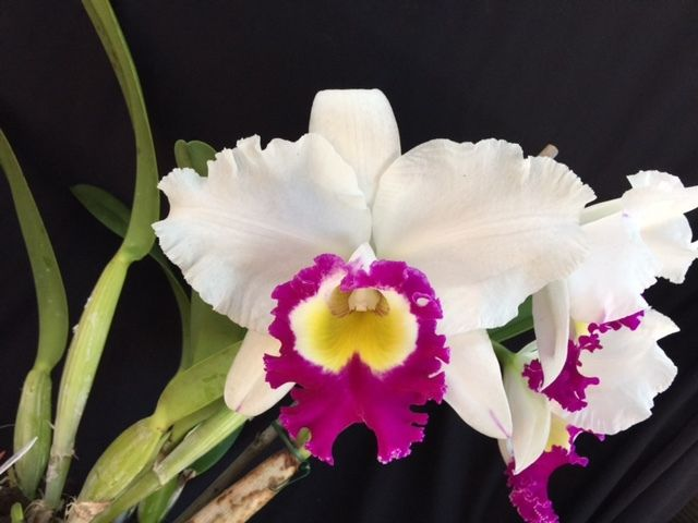 Cattleya : Rlc. Irene Creeden x Volcano Star FCC/AOS, blooming size orchids