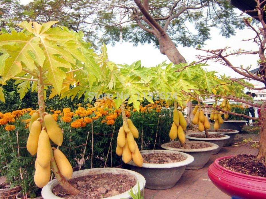 40+ VERY FRESH WAIMANALO PAPAYA seeds, organic ,non GMO,  US seller, SHIPS FREE