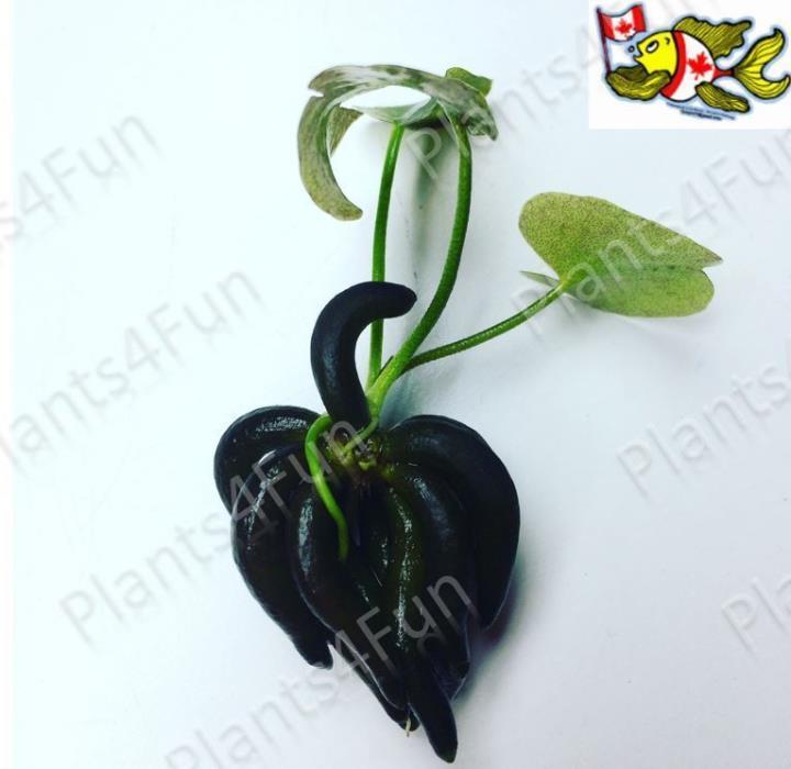 Banana Plant (Nymphoides Aquatica) Live Aquarium Plant