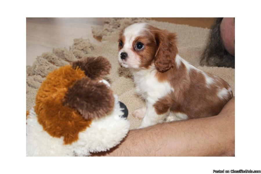 Adorable cavalier king charles spaniel puppies!!