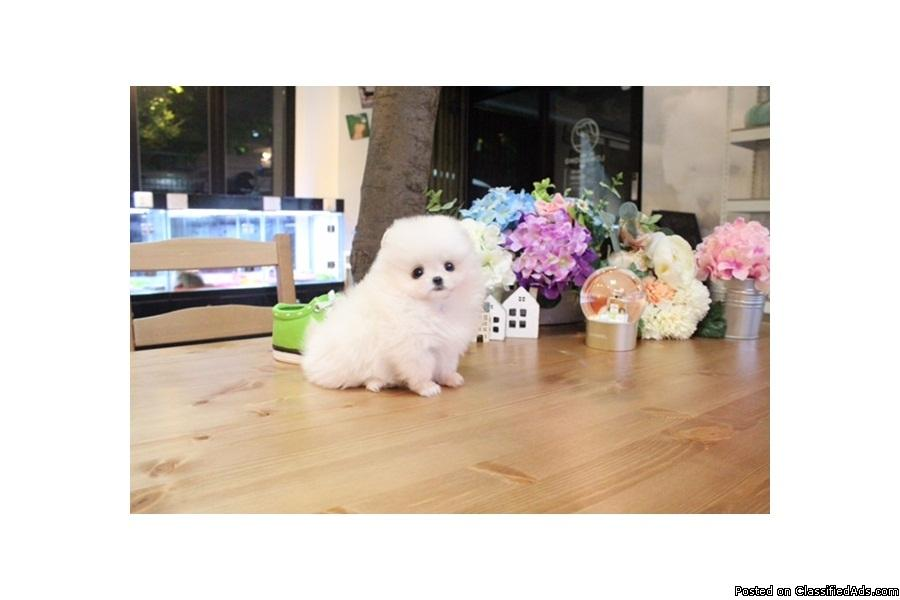 Pomeranian puppies available for caring homes