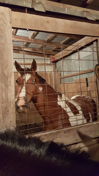 Gaited Paint Saddle Horse for sale