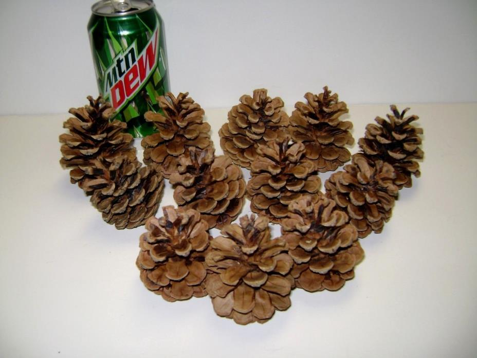 6 Ponderosa & Scotch Pine Cones! Freshly Picked 2