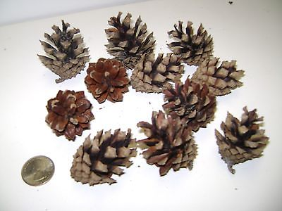 12 Austrian Pine Cones! Fresh and Ready to Go! 1