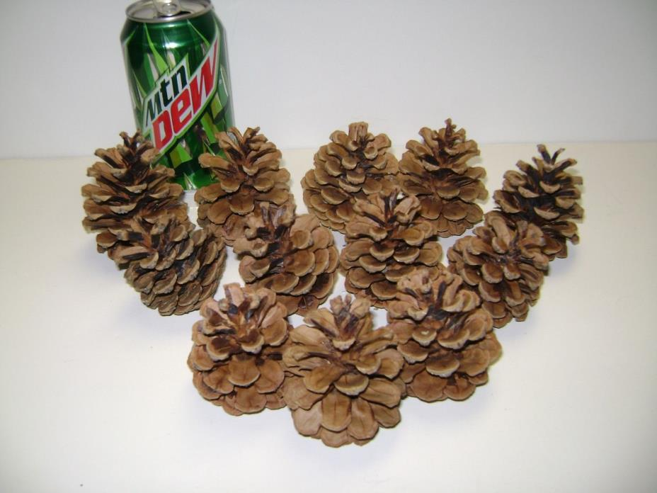 12 Ponderosa & Scotch Pine Cones! Freshly Picked 2