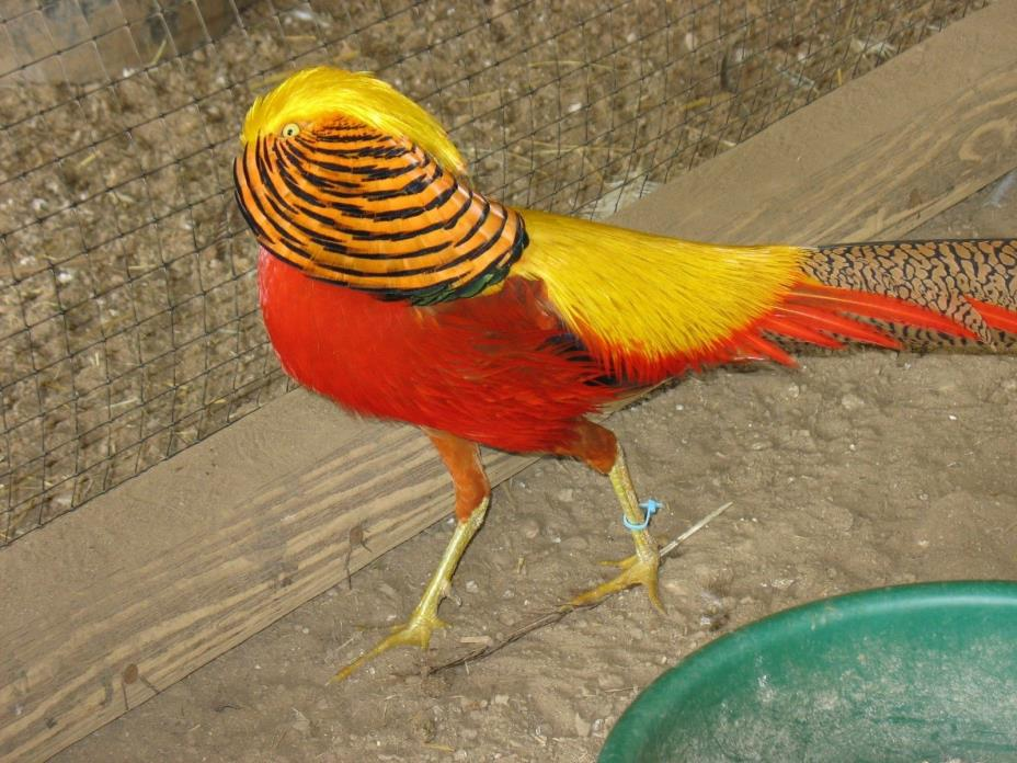 6 Red-golden Pheasant hatching eggs