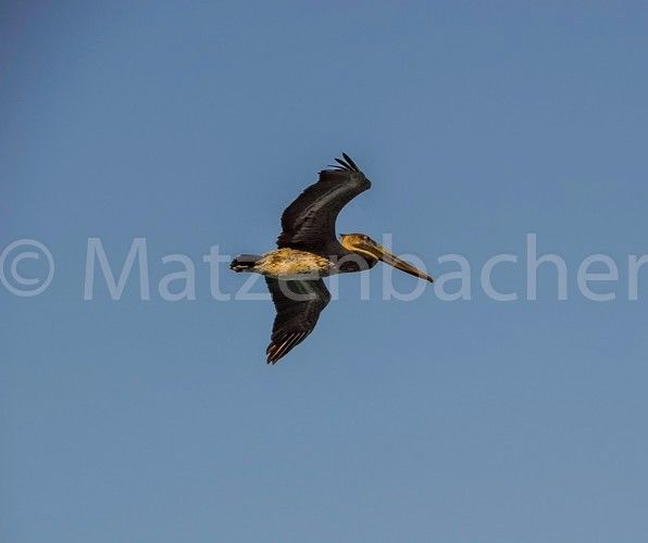 Photo Digital Bird Flying Cancun Foto Image Background Free Shipping