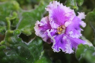African Violet Harmony's Frilly Dilly   2 leaves