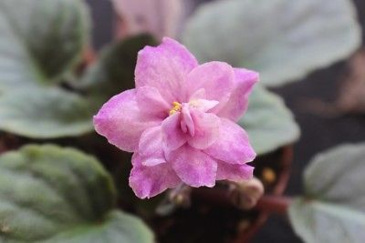 African Violet Ajohn's Apple Blossom set of 2 leaves
