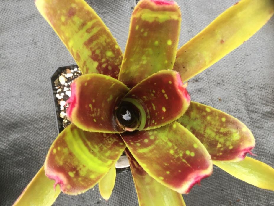 "Neoregelia bromeliad; ""Liliputiana x Chlorasticta"" Vivarium/ dart frog/terrarium"