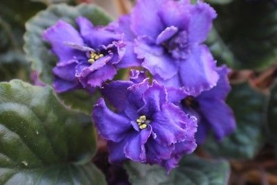 African Violet Tomorrow's Royalty set of 2 leaves