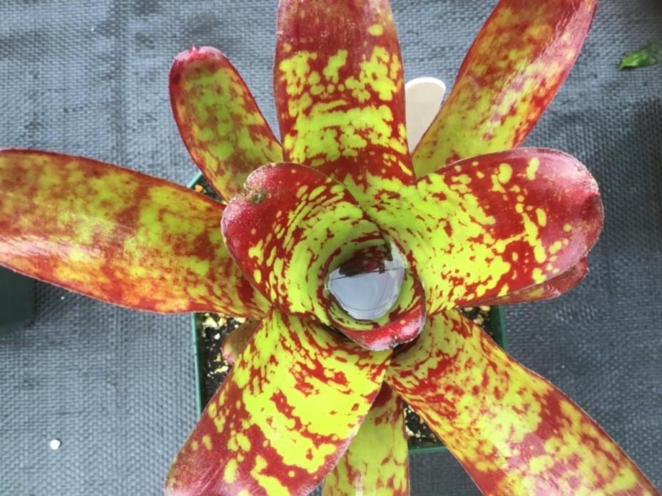 "Neoregelia bromeliad: ""Spaced Out""-Vivarium/ dart frog/terrarium/houseplant"
