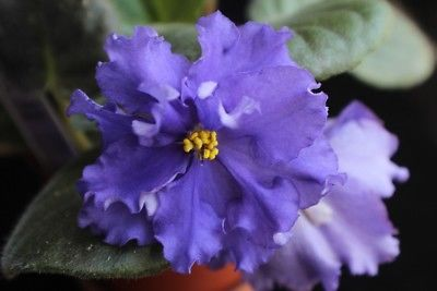 African Violet Evening Splendor pair of leaves