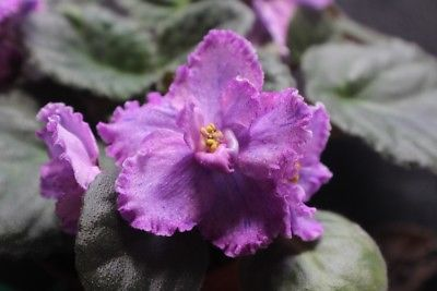 African Violet Mellow Magic set of 2 leaves