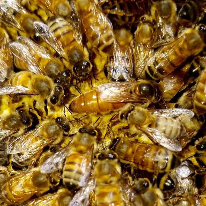 Queen Bees 10 queens Shipping