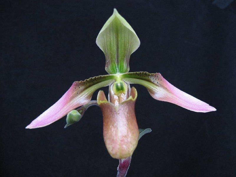 Paphiopedilum appletonianum species ladyslipper orchid