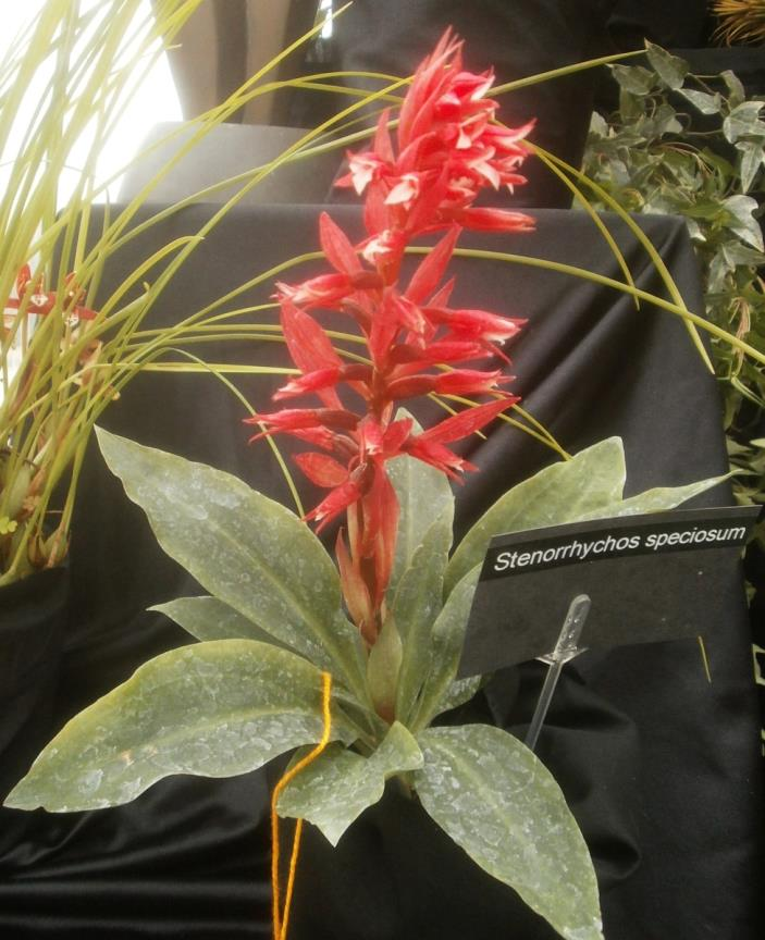 STENORRHYNCHOS SPECIOSUM ORCHID (rooted plant)