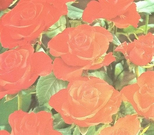 Tropicana Rose Bush orange Special Pre Sale Spring Reserve Yours now!