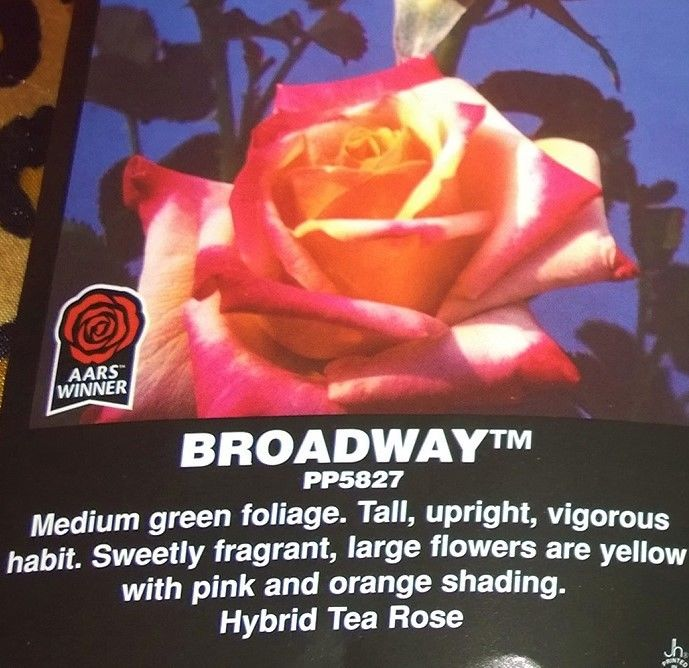 Broadway rare Rose Bush Special Pre Sale Spring Reserve Yours now!