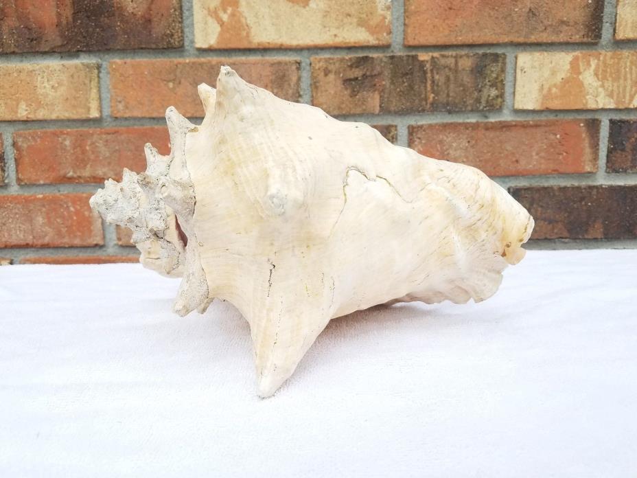 Vintage Large Seashell