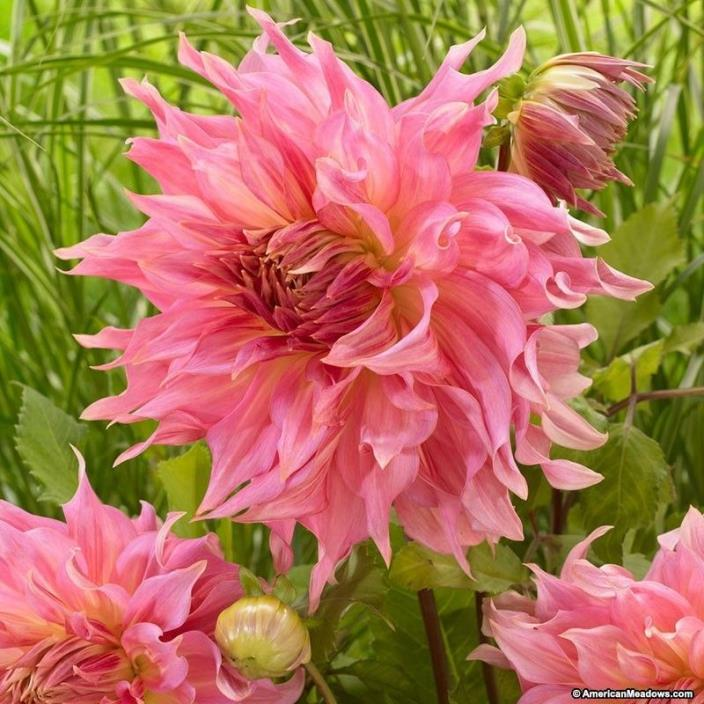 2 DINNER PLATE DAHLIA Time for All